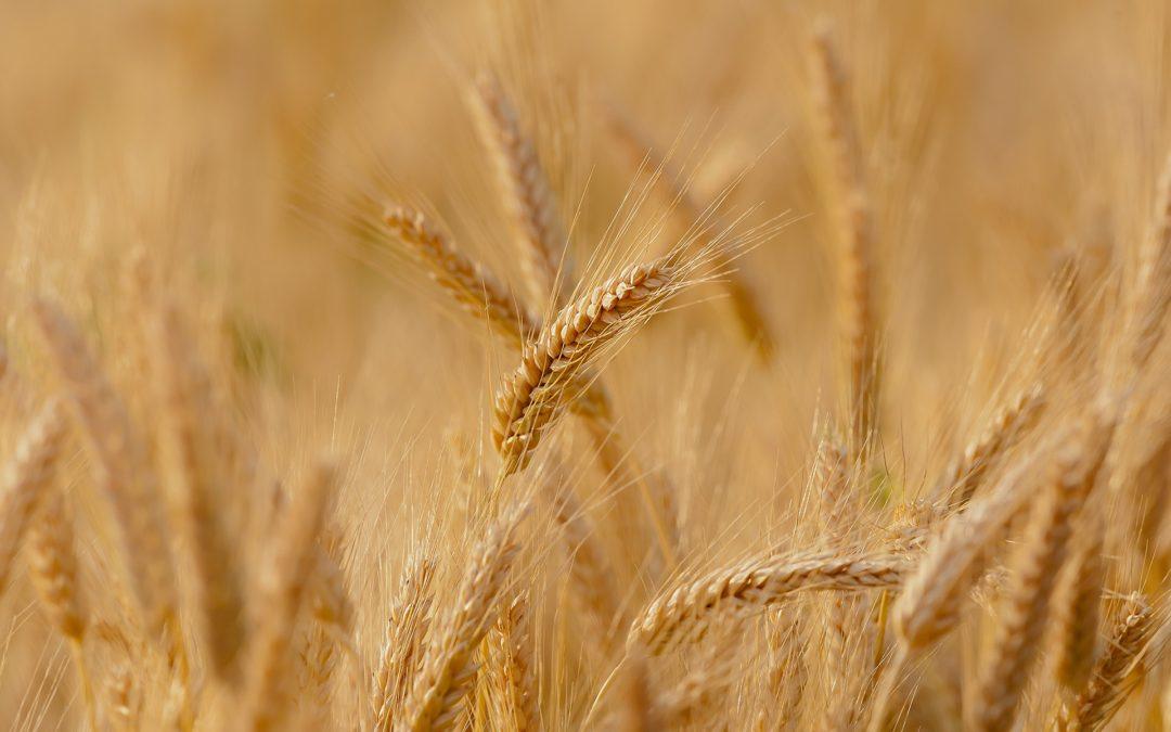 Un blé plus résistant à la sécheresse grâce au silicium